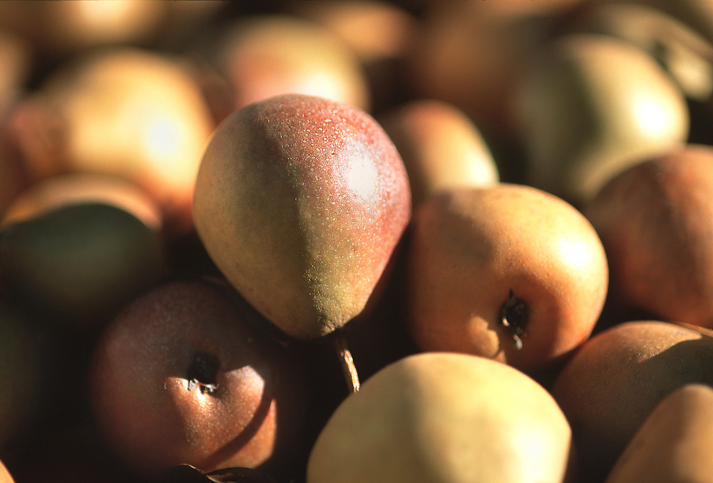 Close up selective focus photograph of some Seckel pears