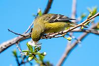 Female Lesser Goldfinch, Carduelis psaltria, feeds on flowers in a plum tree in Berkeley, California