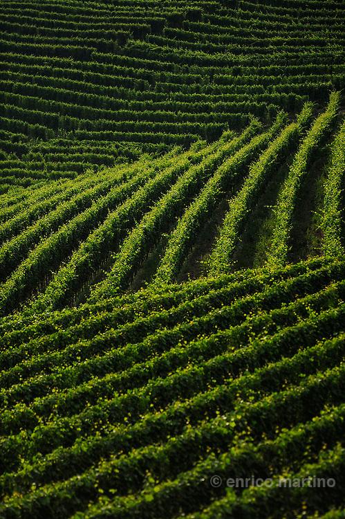 Langhe. Barolo vineyards between Barolo and Monforte.