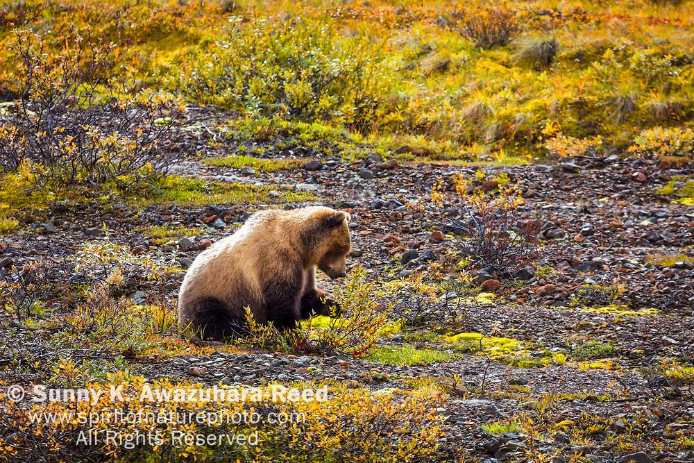 Grizzly Bear nibbling  fall color tundra. Denali National Park & Preserve, Interior Alaska, Autumn.