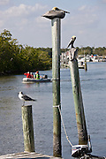 Brown pelicans and Juvenile Laughing Gull seagull perching by the Barron River in the Everglades, Florida, USA
