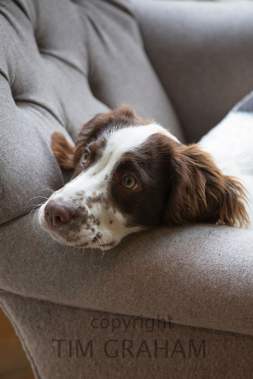 A cute tired Springer Spaniel dog in pensive mood sitting on favourite armchair at home