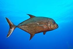 black jack, Caranx lugubris, Wilderness Wall, Cayman Brac, Cayman Islands, Caribbean Sea, Atlantic Ocean