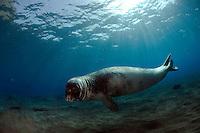 "Mission: Monk Seal <br /> Desertas Islands – Deserta Grande - Madeira, Portugal. August 2009.<br /> Monk Seal (Monachus monachus), male identified by parque Natural da Madeira as ""metade""."