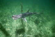 bonnethead shark, Sphyrna tiburo, Florida Keys, Florida Bay ( Gulf of Mexico )