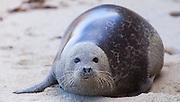 A Harbor Seal on the sand at Children's Cove - La Jolla, California.