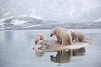Polar bear (Ursus maritimus) trio feeding on dead whale, Svalbard, Norway.