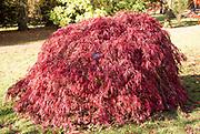 Japanese maple tree in autumn colour, Acer Palmatum, National arboretum, Westonbirt arboretum, Gloucestershire, England, UK 'Dissectum Crimson Queen'
