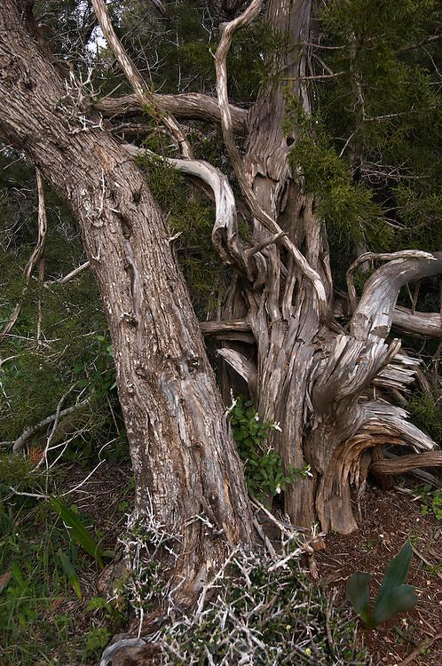 Mediterranean Cypress (Cupressus sempervirens) Akamas Peninsula, Cyprus