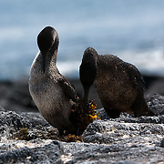 Flightless Cormorant (Nannopetrum harrisi), male delivering kelp to be used as nesting material to female at nest site. Galapagos, Ecuador.