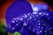 close up of a Purple flower with dew drops