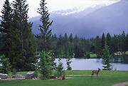 Deer, Japer Park Lodge, Jasper, Canada<br />