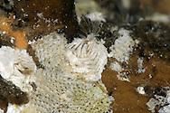Wart Barnacle - Verruca stroemia