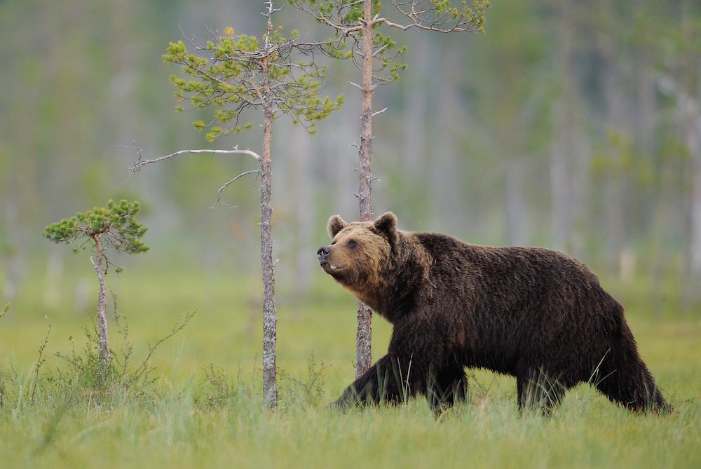 European Brown bear, Ursus arctos, Kuhmo Finland