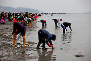 """Visitors collecting mussels and seaweet on the open """"Mysterious Sea Road"""" at Hoedong shore (Jindo island). Jindo is the 3rd biggest island in South Korea located in the South-West end of the country and famous for the """"Mysterious Sea Route"""" or """"Moses Miracle"""". Every spring thousands flock to the shores of Jindo to walk the mysterious route that stretches roughly three kilometers from Hoedong to the distant island of Modo. Materializing from the rise and fall of the tides, the divide can reach as wide as forty meters."""