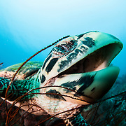 Hawksbill turtle opening mouth in Papua New Guinea