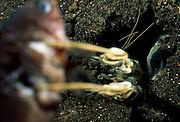 Ein unvorsichtiger Fisch hat beim Hervorschnellen der Fangbeine des Fangschreckenkrebses (Lysiosquillina maculata) meist keine Chance mehr. Der Fangschlag dieser Krebse gehört zu den schnellsten Bewegungen im Tierreich. | Mantis Shrimp (Lysiosquillina maculata)