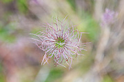 Clematis sp. seed head growing in a recent forest fire burn, Lost Creek Wilderness, Colorado.