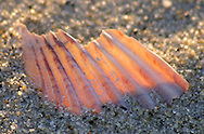 I was reminded of a schooner sailing when I saw this back-lit piece of scallop shell.