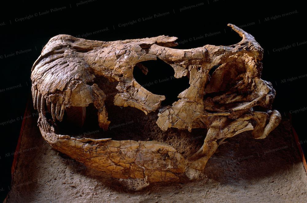 A Nemegtosaurus Skull in the Mongolian State Museum in Ulan Bator.