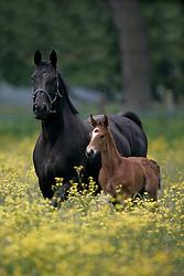 Paarden op de weide<br /> Fokkerij Van Eeckhout Isabelle<br /> Stal d'Ive - Outer-Ninove 2007<br /> © Hippo Foto - Dirk Caremans