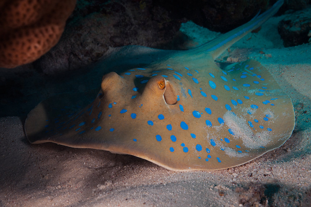 EGYPT. Hurghada. December 22nd, 2013. A blue spotted stingray (sp. taeniura lymma) rests on the sand beneath a coral bommie. They are listed as near threatened and are found amongst the shallow coral reefs in tropical waters, including the Red Sea.  They feed primarily during the day on the sandy bottom and prey on shrimps, crabs, molluscs and small fish.  They are generally very docile and will often continue undisturbed if approached carefully, although if necessary they can deliver serious injury with the venomous stinger located on their tail.