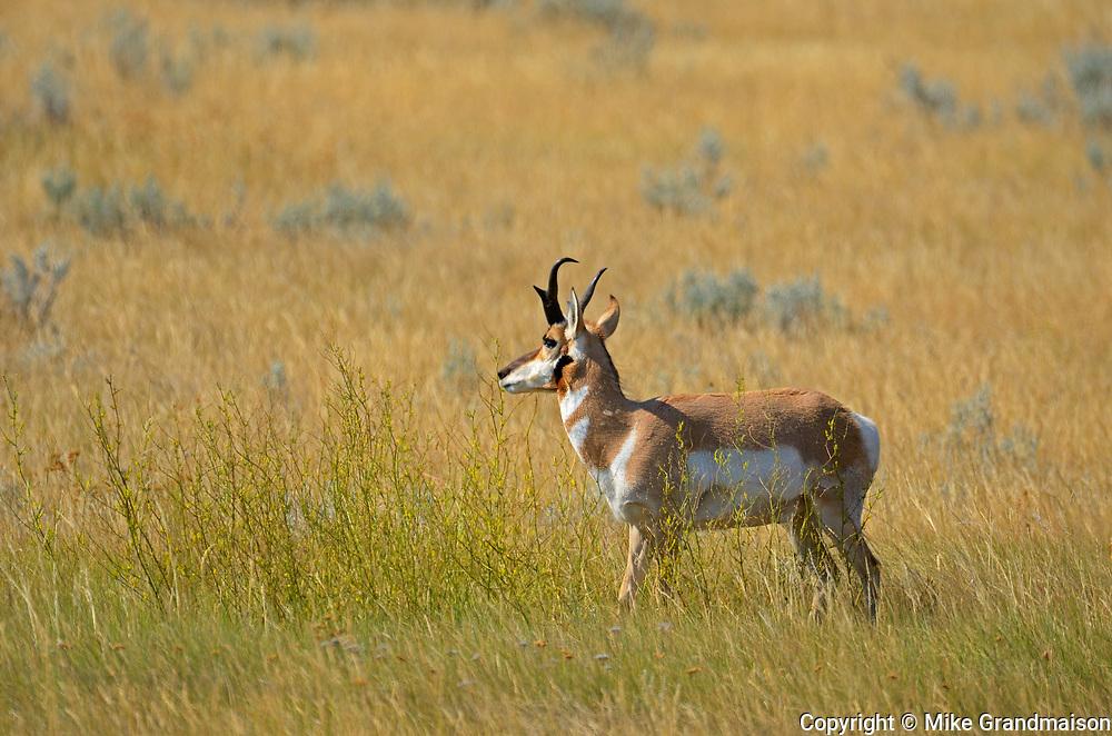 Pronghorn (Antilocapra americana) on the prairie<br />Near Monchy<br />Saskatchewan<br />Canada