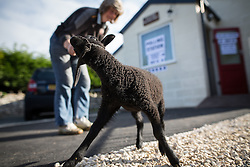 """© Licensed to London News Pictures . 07/05/2015 . Doncaster , UK . Judith Preston with her Shetland Lamb """" Beth """" , voting at Sutton Village Hall polling station in Ed Miliband's constituency of Doncaster North . Photo credit : Joel Goodman/LNP"""