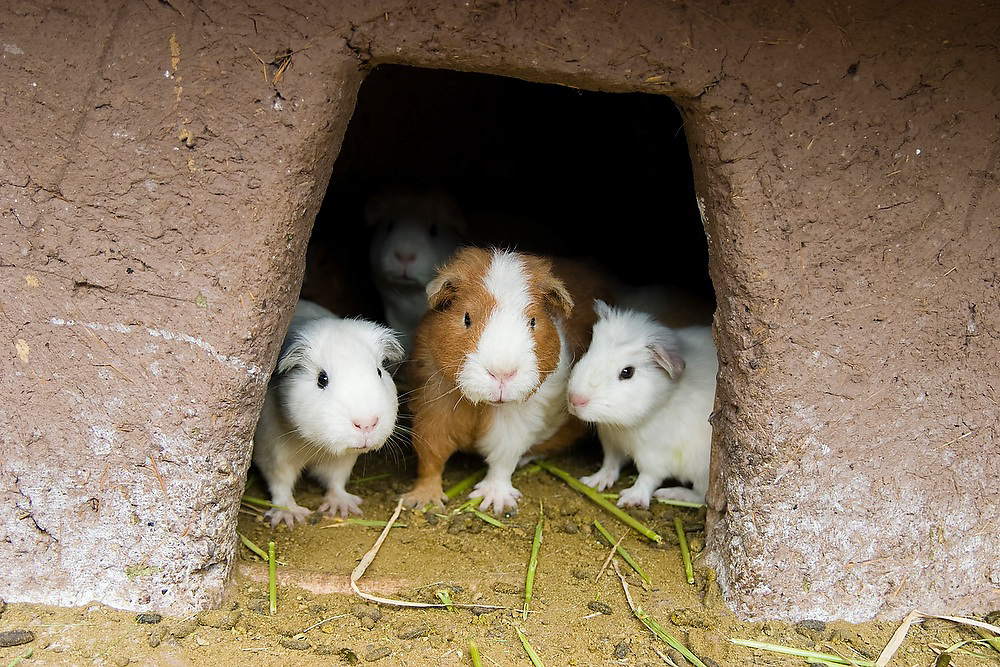Guinea pigs in an enclosure at a restaurant in Pisac, Peru, where they are a culinary specialty.