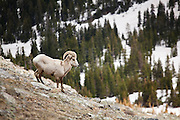 A bighorn sheep (Ovis canadensis) ram roams the steep rocky slopes below the summit of Paprika Peak, Never Summer Wilderness, Colorado.