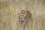 Cheetah <br /> Acinonyx jubatus<br /> Shy cheetah in long grass<br /> Cheetah Conservation Fund, Namibia<br /> *Captive