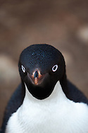 Shallow depth of field portrait of an Adelie penguin (Pygoscelis adeliae) looking straight at viewer (Cape Adare, Antarctica)