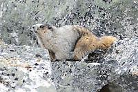 A hoary marmot in the rocks near Skagway, Alaska