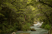 Landscape with a stream in a lush green forest, Routeburn Track, South Island, New Zealand