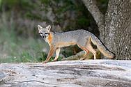 Male Gray Fox on a dead log