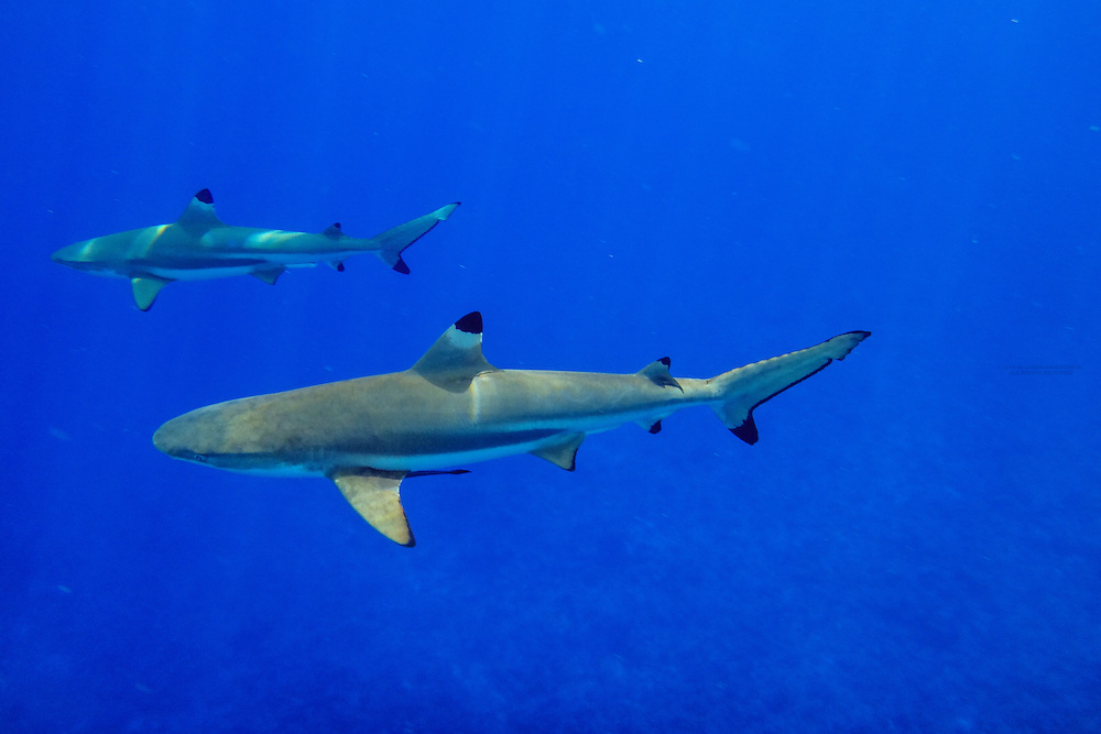 Black tip reef sharks off the island of Bora Bora, Society Islands, French Polynesia.