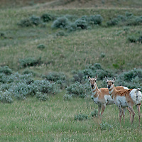 """Pronghorn """"antelope"""" (Antilocapra americana) roam lands near the Missouri River Breaks preserved by the American Prairie Foundation in central Montana.  Though often called """"antelope,"""" they are actually of a different animal family."""