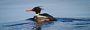 Siland | Red-breasted Merganser