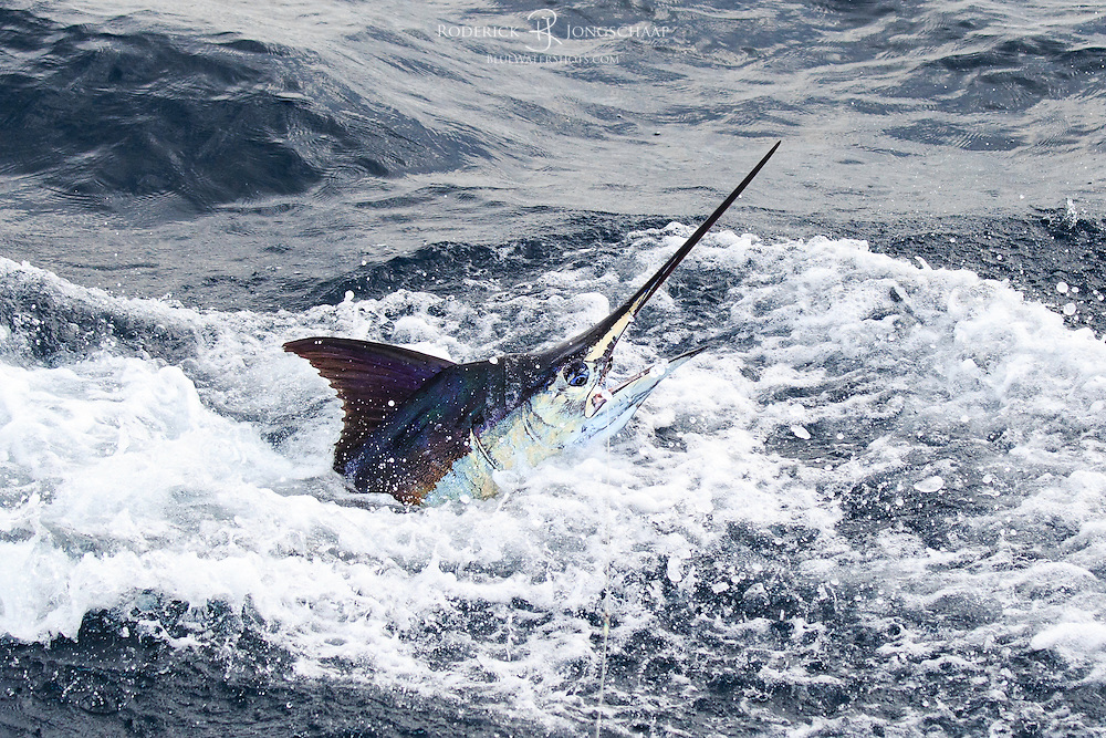 Blue Marlin breaking the surface close the boat offshore Luanda, Angola