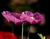 Lensbaby Poppy Blooms Macro Series