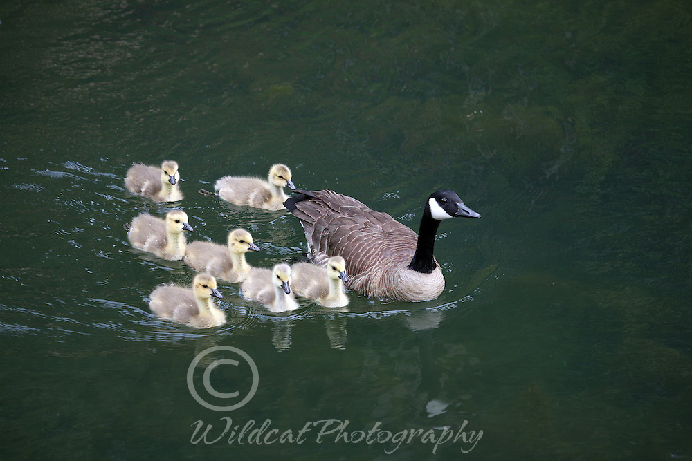 Mom Canadian Goose swimming with the family