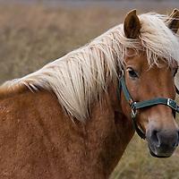 An Icelandic horse photographed along Route 82, between Ólafsfjörður and Hofsós.