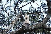 Ecuador, May 15 2010: Juvenile Harpy Eagle on branch near nest. Copyright 2010 Peter Horrell