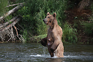 A brown bear sow stands up to look for salmon in the Brooks River, Alaska
