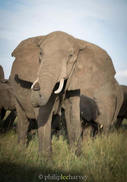 Nature photograph of a single African elephant (Loxodonta africana) looking at the camera, Serengeti National Park, Tanzania
