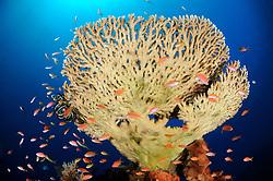 Pseudanthias sp. und Acropora clathrata, Fahnenbarsche und Tischkoralle, Anthias and table coral, Bali, Indonesien, Indopazifik, Bali, Indonesia Asien, Indo-Pacific Ocean, Asia