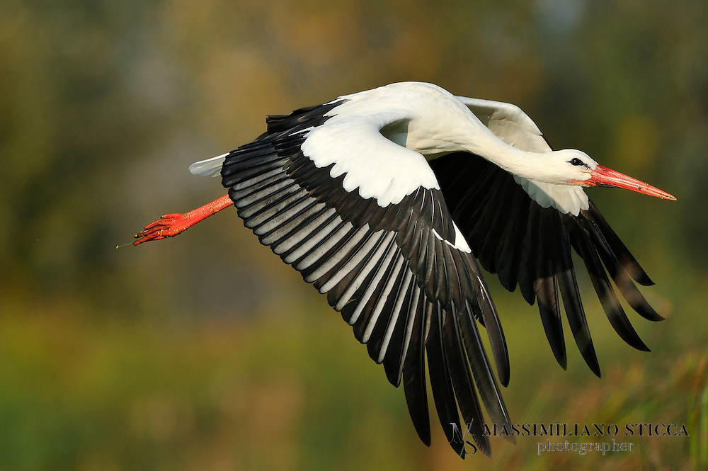 The White Stork (Ciconia ciconia) is a large bird in the stork family Ciconiidae. Its plumage is mainly white, with black on its wings. Adults have long red legs and long pointed red beaks, and measure on average 100–115 cm (39–45 in) from beak tip to end of tail, with a 155–215 cm (61–85 in) wingspan. The two subspecies, which differ slightly in size, breed in Europe (north to Finland), northwestern Africa, southwestern Asia (east to southern Kazakhstan), and southern Africa. The White Stork is a long-distance migrant, wintering in Africa from tropical Sub-Saharan Africa to as far south as South Africa, or on the Indian subcontinent. When migrating between Europe and Africa, it avoids crossing the Mediterranean Sea and detours via the Levant in the east or the Strait of Gibraltar in the west, because the air thermals on which it depends do not form over water..A carnivore, the White Stork eats a wide range of animal prey, including insects, fish, amphibians, reptiles, small mammals, and small birds. It takes most of its food from the ground, among low vegetation, and from shallow water. It is a monogamous breeder, but does not pair for life. Both members of the pair build a large stick nest, which may be used for several years. Each year the female can lay one clutch of usually four eggs, which hatch asynchronously 33–34 days after being laid. Both parents take turns incubating the eggs and both feed the young. The young leave the nest 58–64 days after hatching, and continue to be fed by the parents for a further 7–20 days.