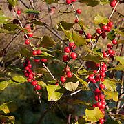 Winterberry, Ilex verticillata