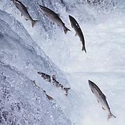 Chum salmon jumping falls at Brooks Falls on the Brooks River, Alaska.