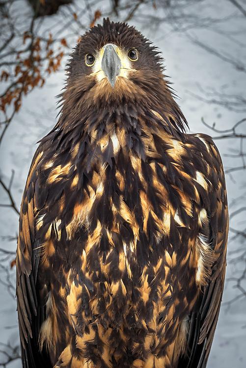 Golden Eagle in Carpathian Mountains, Ukraine